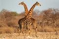 Giraffe bulls Royalty Free Stock Photo