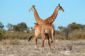 Giraffe bulls two giraffa camelopardalis south africa Stock Photography