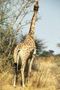 Giraffe in bush Stock Photos