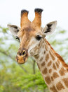 Giraffe in the Bush in South Africa Royalty Free Stock Image
