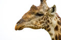 Giraffe in the Bush in South Africa Stock Photos
