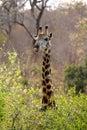 Giraffe in the bush Royalty Free Stock Photo