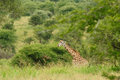 Giraffe in the bush Royalty Free Stock Photo
