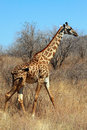 Giraffe in bushy savanna Royalty Free Stock Photo