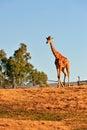 Giraffe In Captivity