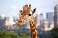 Giraffe at city zoo photographed at taronga zoo sydney australia Stock Photo