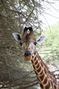 Giraffe close-up Stock Photos