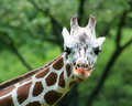 Giraffe close-up Stock Photography