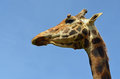 Giraffe close up of head and neck Royalty Free Stock Photography