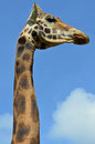Giraffe close up of head and neck Stock Image