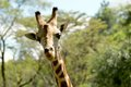 Giraffe close up looking at the camera Royalty Free Stock Photos