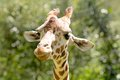 Giraffe close up looking at the camera and smiling Royalty Free Stock Images