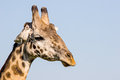 Giraffe close up of a in massai mara kenya Royalty Free Stock Photography