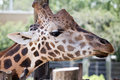 Giraffe close up profile of brown and white spotted s neck and face with tropical green vegetation in the background Stock Photography