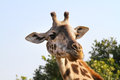 Giraffe close up of a at serengeti national park Stock Photos