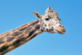Giraffe closeup of a giraffa camelopardalis giraffidae Royalty Free Stock Photography