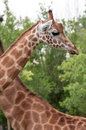 Giraffe closeup head and neck bacground another giraffe giraffa camelopardalis Royalty Free Stock Photo
