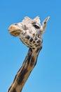 Giraffe closeup portrait from below of a giraffa camelopardalis Royalty Free Stock Image