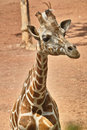 Giraffe closeup of a seeing something Stock Photos