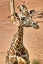Giraffe closeup of a seeing something Stock Photos