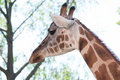 Giraffe closeup view of face Stock Photos