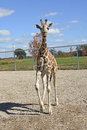 Giraffe confident walking and his shadow Royalty Free Stock Photo