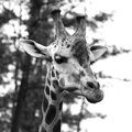 Giraffe cute grey scale square format Royalty Free Stock Image