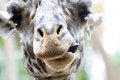Giraffe a cute licks his lips Stock Photo