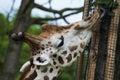 Giraffe cute with long tongue licking tree Royalty Free Stock Image