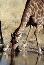 Giraffe drinking Stock Photos