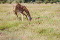 Giraffe drinking bending down to drink Royalty Free Stock Photo