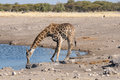Giraffe drinking water etosha national park namibia Royalty Free Stock Photography