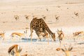 Giraffe drinking water in etosha np namibia Stock Photo