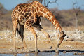 Giraffe drinking water giraffa camelopardalis etosha national park namibia Stock Photography