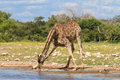 Giraffe drinking at a water hole Royalty Free Stock Photo