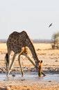 Giraffe drinking water at nxai pan np botswana Stock Photo