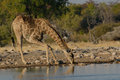 Giraffe drinking at waterhole in etosha national park namibia from Royalty Free Stock Photography
