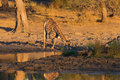 Giraffe drinking from waterhole at sunset Royalty Free Stock Photo