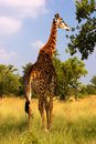 A Giraffe eating Stock Photography