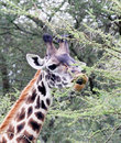 Giraffe eating acacia tree Royalty Free Stock Photo