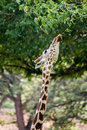 Giraffe eating in forest Royalty Free Stock Photo