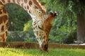 Giraffe eating grass Royalty Free Stock Photo