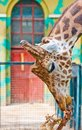 Giraffe are eating leaves Royalty Free Stock Photos