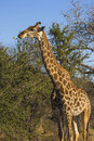 Giraffe eating at the tops of trees Stock Photography