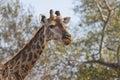 Giraffe eating at the tops of trees Royalty Free Stock Photos