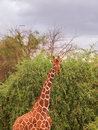 Giraffe eating from trees with three quarter view all neck Royalty Free Stock Images