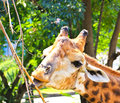 Giraffe eating twigs Royalty Free Stock Image