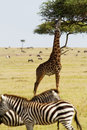 Giraffe eating with zebras in foreground Royalty Free Stock Images