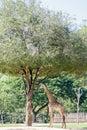 Giraffe And Egret Under The Tree