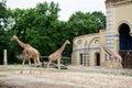 Giraffe enclosure in Berlin zoo Royalty Free Stock Photo
